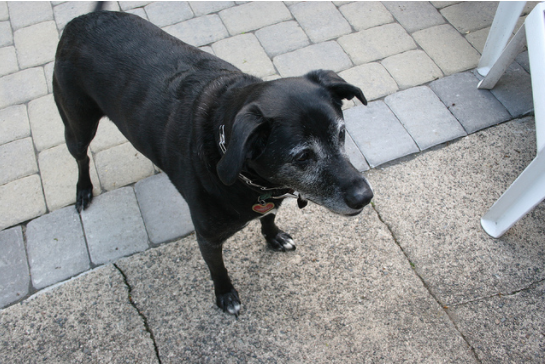 Herman the dog